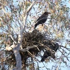Corvus coronoides (Australian Raven) at Ainslie, ACT - 30 Sep 2021 by jbromilow50