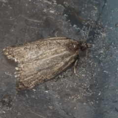 Tortricinae (subfamily) (A tortrix moth) at Higgins, ACT - 1 Oct 2021 by AlisonMilton