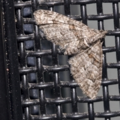 Phrissogonus laticostata (Apple looper moth) at Higgins, ACT - 1 Oct 2021 by AlisonMilton