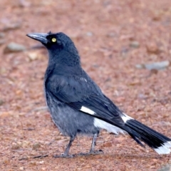Strepera graculina (Pied Currawong) at Ainslie, ACT - 29 Sep 2021 by jbromilow50