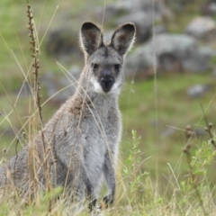 Macropus rufogriseus (Red-necked Wallaby) at Tuggeranong DC, ACT - 2 Oct 2021 by HelenCross