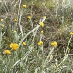 Chrysocephalum apiculatum (Common Everlasting) at Tennent, ACT - 2 Oct 2021 by JaneR