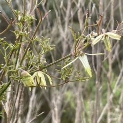 Clematis leptophylla (Small-leaf Clematis, Old Man's Beard) at Tennent, ACT - 2 Oct 2021 by JaneR