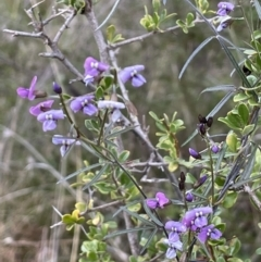 Glycine clandestina (Twining glycine) at Tennent, ACT - 2 Oct 2021 by JaneR