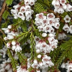 Micromyrtus ciliata (Fringed Heath-myrtle) at Tennent, ACT - 2 Oct 2021 by JaneR