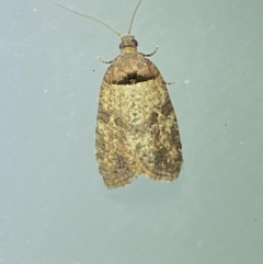 Rupicolana orthias (A tortrix or leafroller moth) at Jerrabomberra, NSW - 2 Oct 2021 by Steve_Bok