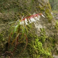 Dracophyllum secundum at Colo Vale, NSW - 1 Oct 2021 by Curiosity
