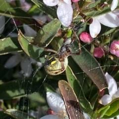Araneus hamiltoni (Hamilton's Orb Weaver) at Nanima, NSW - 3 Oct 2021 by 81mv