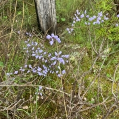 Comesperma volubile (Love Creeper) at Paddys River, ACT - 2 Oct 2021 by NickiTaws