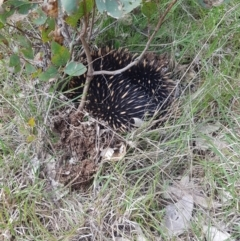 Tachyglossus aculeatus (Short-beaked Echidna) at Molonglo Valley, ACT - 3 Oct 2021 by danswell