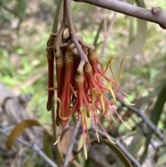Amyema pendula subsp. pendula (Mistletoe) at Jerrabomberra, NSW - 3 Oct 2021 by Steve_Bok