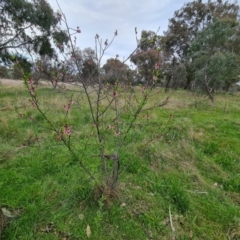 Prunus sp. (A plum species) at Jerrabomberra, ACT - 3 Oct 2021 by Mike