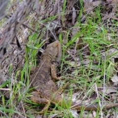 Pogona barbata (Bearded Dragon) at Lyneham, ACT - 3 Oct 2021 by pineapplealex17