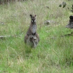 Macropus rufogriseus (Red-necked Wallaby) at Hawker, ACT - 2 Oct 2021 by sangio7