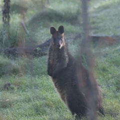 Wallabia bicolor (Swamp Wallaby) at Sutton, NSW - 2 Oct 2021 by TimotheeBonnet