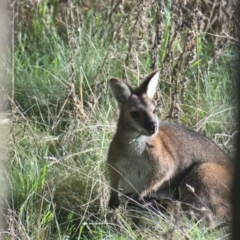 Macropus rufogriseus (Red-necked Wallaby) at Sutton, NSW - 2 Oct 2021 by TimotheeBonnet