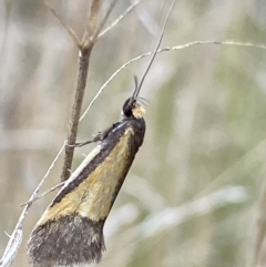 Philobota undescribed species near arabella (A concealer moth) at Booth, ACT - 2 Oct 2021 by RAllen