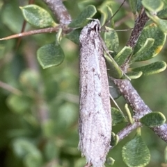 Philobota stella (A concealer moth) at Booth, ACT - 3 Oct 2021 by RAllen