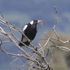 Gymnorhina tibicen (Australian Magpie) at Hawker, ACT - 2 Oct 2021 by AlisonMilton