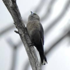 Artamus cyanopterus (Dusky Woodswallow) at Booth, ACT - 3 Oct 2021 by KMcCue