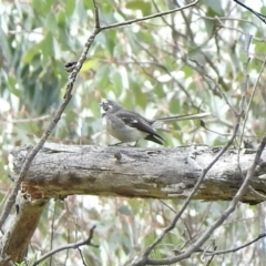 Rhipidura albiscapa (Grey Fantail) at Booth, ACT - 3 Oct 2021 by KMcCue