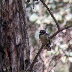 Rhipidura albiscapa (Grey Fantail) at Talmalmo, NSW - 2 Oct 2021 by Darcy
