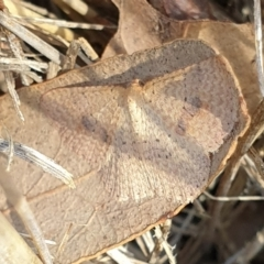 Epicyme rubropunctaria (Red-spotted Delicate) at Cook, ACT - 31 Aug 2021 by drakes