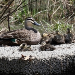 Anas superciliosa (Pacific Black Duck) at Monash, ACT - 3 Oct 2021 by RodDeb