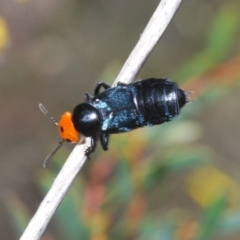 Creophilus erythrocephalus (Devil's coach horse, Rove beetle) at Cook, ACT - 3 Oct 2021 by Harrisi