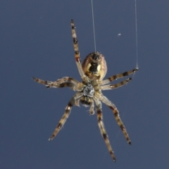 Cyclosa fuliginata (species-group) (An orb weaving spider) at Evatt, ACT - 27 Sep 2021 by TimL