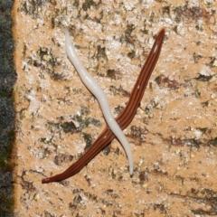 Australoplana minor (The Little planarian) at Evatt, ACT - 29 Sep 2021 by TimL
