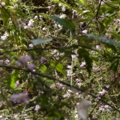 Bauera rubioides at Colo Vale, NSW - 1 Oct 2021