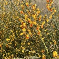 Cytisus scoparius subsp. scoparius (Scotch Broom, Broom, English Broom) at Downer, ACT - 3 Oct 2021 by JaneR