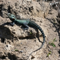 Intellagama lesueurii howittii (Gippsland Water Dragon) at Fyshwick, ACT - 25 Sep 2021 by MB