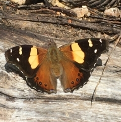 Vanessa itea (Yellow Admiral) at Paddys River, ACT - 2 Oct 2021 by Ned_Johnston