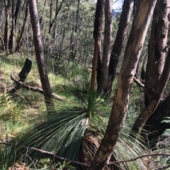 Xanthorrhoea glauca subsp. angustifolia (Grey Grass-tree) at Paddys River, ACT - 2 Oct 2021 by Ned_Johnston