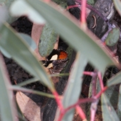 Vanessa itea (Yellow Admiral) at Booth, ACT - 3 Oct 2021 by RAllen
