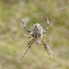 Backobourkia sp. (Unidentified Backobourkia orb weaver) at Stromlo, ACT - 3 Oct 2021 by HelenCross