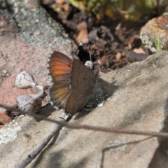 Paralucia spinifera (Bathurst or Purple Copper Butterfly) at suppressed - 3 Oct 2021 by RAllen