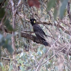 Calyptorhynchus funereus (Yellow-tailed Black-Cockatoo) at Talmalmo, NSW - 2 Oct 2021 by Darcy