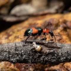 Dicranolaius bellulus (Red and Blue Pollen Beetle) at Bruce, ACT - 3 Oct 2021 by Roger