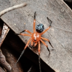 Nicodamus peregrinus (Common Red and black spider) at Bruce, ACT - 3 Oct 2021 by Roger