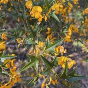 Podolobium ilicifolium at Mittagong, NSW - 4 Oct 2021