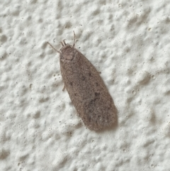 Chezala privatella (A Concealer moth) at Turner, ACT - 3 Oct 2021 by LD12