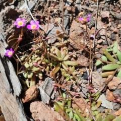 Calandrinia eremaea (Small Purslane) at Mount Majura - 4 Oct 2021 by RobertD