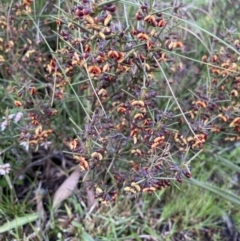 Daviesia genistifolia (Broom Bitter Pea) at Bungendore, NSW - 2 Oct 2021 by yellowboxwoodland