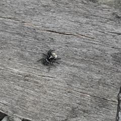 Araneae sp. (order) (TBC) at Mount Majura - 4 Oct 2021 by Sarah2019