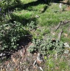 Marrubium vulgare (Horehound) at Mount Majura - 4 Oct 2021 by Sarah2019