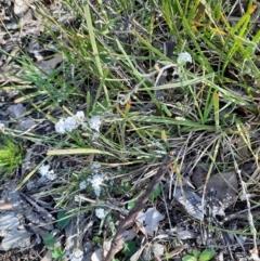 Leucopogon virgatus (Common Beard-heath) at Holt, ACT - 19 Sep 2021 by Sarah2019