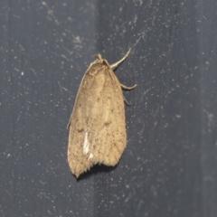 Chezala privatella (A Concealer moth) at Higgins, ACT - 2 Oct 2021 by AlisonMilton
